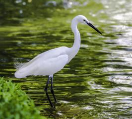 Egret and green lake in Bangkok