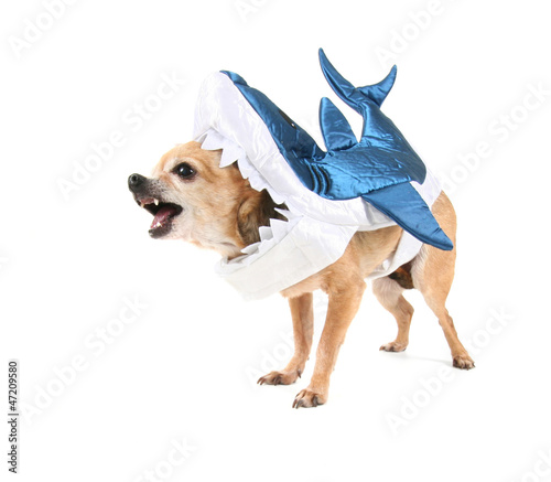 cute chihuahua in a shark costume