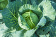 Cabbage ready to harvest