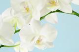 Fototapeta Phalaenopsis - kwiat - Kwiat