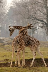 Giraffe, il nodo