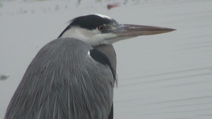 Close-up: The heron looks around cautiously yellow eye