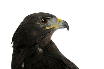 Portrait of falcon