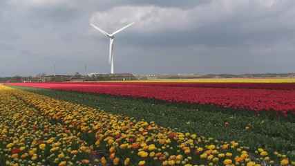 Tulips field with a windmill power station