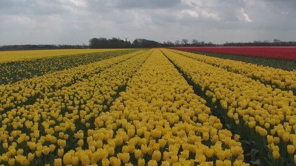 Yellow sea of tulips
