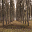 Rows of poplar trees in France.