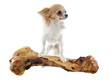 chihuahua and bone