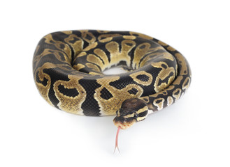 A Python on White Background