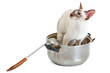 Siamese Cat in a big pan, isolated on white background