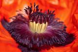 Poppy flower head inside. Macro stamens and pollen