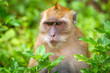 Macaque monkey in widelife, Thailand