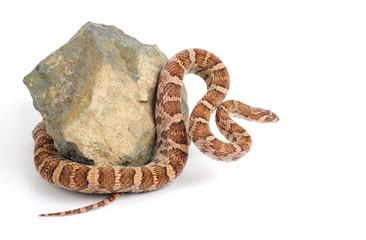 Lyre Snake Curls Around a Piece