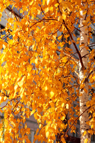 Foto op Plexiglas Berkbosje Golden leaves