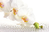 Fototapety white beautiful orchid with drops