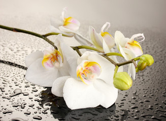 white beautiful orchid with drops on grey background