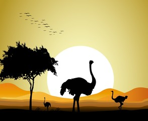 beauty silhouette of ostrich with sunset background