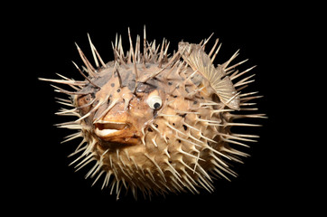 sea-urchin isolated on black