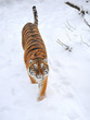 Beautiful wild siberian tiger on snow