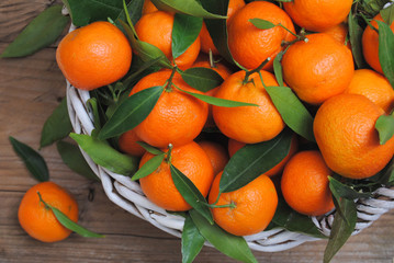 Mandarines citrus in basket straight from the tree