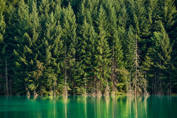 Pine trees and lake