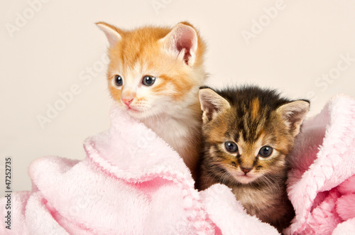 Two kittens in a pink blanket