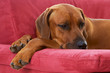 rhodesian ridgeback lying on the couch