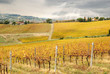 nice vineyard with amazing colors in autumn