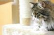 Gatto siberiano maschio sul tiragraffi