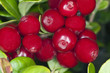 Cowberries or lingonberries, vibrant photo