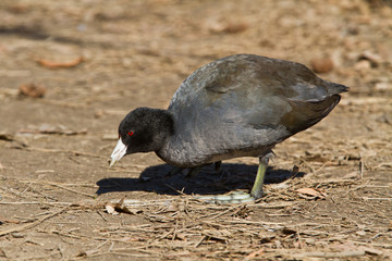 American Coot out of water