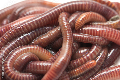 earthworms. macro