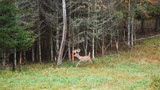 Whitetail Deer Running