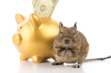 Degu saving money in piggy bank