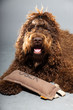 Barbet dog on grey background. French Water Dog. Studio shot.