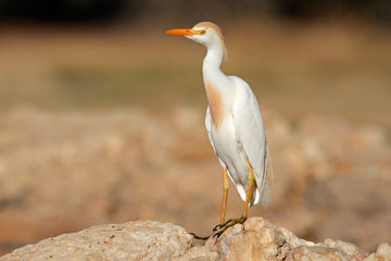 Cattle egret (Bubulcus ibis) perched on a rock