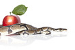 Royal Python with red apple