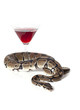 Royal Python with glass of wine
