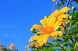 Mexican Sunflower[Tithonia diversifolia]
