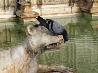 Pigeon on Fonte Gaia, Siena, Italy.