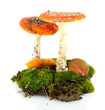red amanitas with moss isolated on white