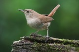 House Wren On A Stump