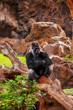 Gorilla monkey in park at Tenerife Canary