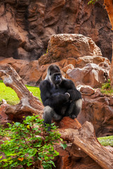 Gorilla monkey in park at Tenerife Canary