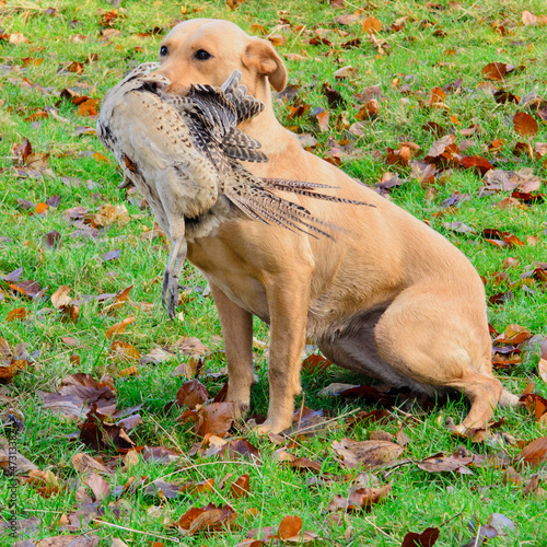Golden Labrador retriever carrying the pheasant