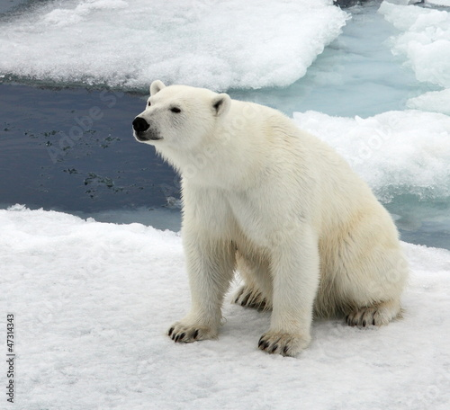 Keuken foto achterwand Antarctica 2 Polar bear in natural environment