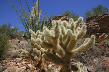 "The teddy bear cholla is named for its furry ""cuddly"" appearance"