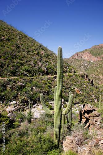 Giant Saguaro Cactus, Saguaro National Park, Sonoran Desert, Tuc