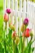 Tulpen im Vorgarten
