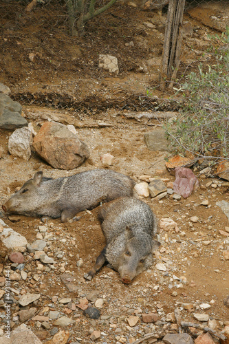 American Collared Peccary or Javelina, a species of Suidae found