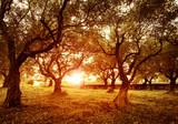 Fototapety Olive trees garden
